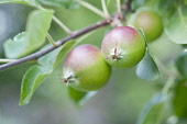 Apple, Malus domestica 'Fiesta'. Close view of two small apples forming on twig with leaves.