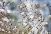 Campion, Lychnis flos-jovis. Side view of many slender stems with white flowers and pink calyxes against pale blue background.