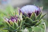 Cardoon, Cynara cardunculus. One head in full flower and one opening. Flowers are tiny purple strands surrounded by stiff green purple calyxes.
