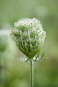 Carrot, Wild carrot, Daucus carota. Close side view of one seedhead with umbels of small hairy seeds.