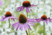 Echinacea, Purple Coneflower, Echinacea purpurea 'Rubinglow', Close up of flowers with mauve coloured petals and spiky texture.