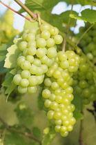 Grape Vine, Vitis 'Seyval blanc', Bunches of green grapes ripening on the vine.-