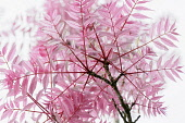 Chinese Toon, Toona sinensis 'Flamingo', Studio shot showing the pattern of the pink leaves and branches.-