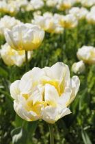 Tulip, Tulipa 'Flaming Evita', Yellow coloured flowers growing outdoor.
