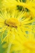 Inula, Inula hookeri, Detail of bright yellow coloured spikey flowers growing outdoor.