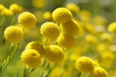 Cotton lavender, Santolina, Santolina chamaecyparissus, Bright yellow coloured globe shaped flowers growing outdoor.-