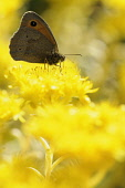 Angleina stonecrop, Sedum rupestre 'Angelina', Meadow brown butterfly on the bright yellow coloured flower.-