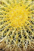 Cactus, Golden Barrel Cactus, Echinocactus grusonii, Aerial view of spiky plant showing mass of needles.-