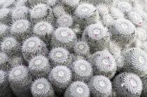 Cactus, Pincushion Cactus, Mammillaria bombycina, Aerial view of spiky plants.-