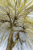 Willow, Weeping Willow, Salix babylonica, Looking up through pattern of branches on the tree.-