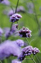 Verbena, Verbena hybrida, Purple coloured flowers growing outdoor.-