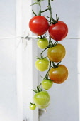 Tomato, Lycopersicon esculentum 'Sweet Petit', Tomatoes at various stages of ripeness growing on the vine.
