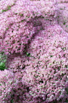 Stonecrop, Sedum 'Herbstfreude', Mass of tiny pink flowers growing outdoor.
