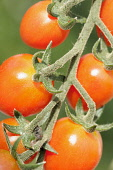 Tomato. Lycopersicon esculentum 'Cupido', Red coloured tomatoes growing on the vine.