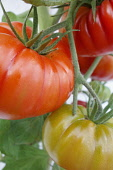 Tomato. Lycopersicon esculentum 'Belriccio', Bulbous red coloured tomatoes growing on the vine.