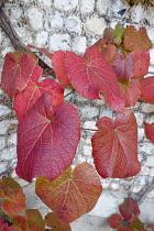 Vine, Crimson Glory Vine, Vitis coigetiae, Red coloured leaves growing against stone wall.-