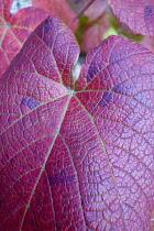 Vine, Crimson Glory Vine, Vitis coigetiae, Close up deatil of red coloured leaves showing pattern.----