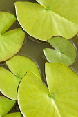 Water lilly, Nymphaea, Aerial view of green leaves on water.-