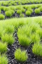 Grass, Purple Moor Grass, Molinia caerulea 'Heidebraut', Tufts of green grasses growing in dark coloured soil.-