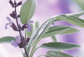 Salvia officinalis Sage Mauve subject Mauve b/g