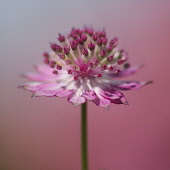 Astrantia, Astrantia Major Roma, Clse up side view of pink coloured flower.-