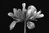 Tulip, Tulipa Exotic Emperor, A still life of single flower in black and white.-