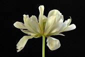 Tulip, Tulipa Exotic Emperor, A still life of single flower against black background.