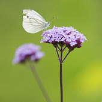 Verbena, Brazilian verbena, Verbena Bonariensis, With a cabbage white butterfly.-