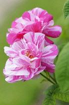 Rosamundi, Rosa gallica 'Versicolor', Pink coloured flowers growing outdoor.