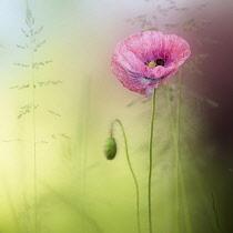 Poppy, Field poppy, Papaver rhoeas, Delicate pink coloured flower growing outdoor.-