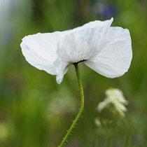 Poppy, Field poppy, Papaver rhoeas 'Mother of Pearl', Single white flower growing outdoor.-