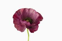 Poppy, Field poppy, Papaver rhoeas 'Mother of Pearl', Studio shot of single purple coloured flower.-