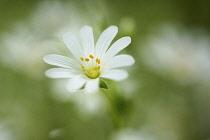 Stitchwort, Greater stitchwort, Stellaria holostea, White flower showing yellow stamen growing outdoor.-