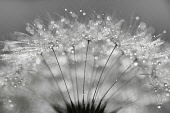 Dandelion clock, Taraxacum officinale, Studio shot showing delicate texture and pattern.-
