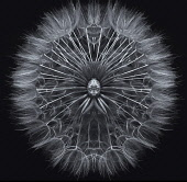 Salsify, Tragopogon porrifolius, Studio shot showing delicate texture and pattern.