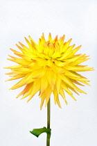 Dahlia, Cactus dahlia,  Close up studio shot of single yellow spiky flower.