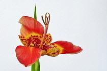 Mexican Shell flower, Tigridia pavonia, Studio shot of single orange coloured flower.-