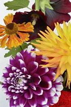 Dahlia cultivar also Hollyhock and Helenium.-