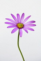 Osteospermum, Studio shot of single pink coloured flower.-