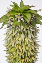 Pineapple flower, Eucomis pallidiflora, Studio shot of unusual flower.-