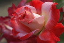 Rose, Hybrid Tea Rose, Rosa x hybrida, Red coloured  flower growing outdoor.