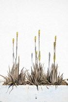 Aloe vera, Three plants growing outdoor in a planter.