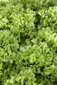 Lettuce 'Fristina', Lactuca sativa 'Fristina', Close up aerial view of green salad vegetable.