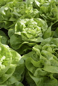 Lettuce, Lactuca sativa, Close up aerial view of green salad vegetable.