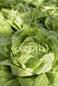 Lettuce 'Arctic King', Lactuca sativa 'Arctic King', Close up aerial view of green salad vegetable.