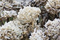 Hydrangea, Outdoor shot of dead flowers in winter.