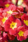 Primula, Primula 'Crescendo Bright Red', Close up of red coloured flowers growing outdoor.