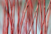 Willow, Scarlet willow, Salix alba 'Britzensis', Detail of red coloured stems growing outdoor.