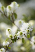 Mountain witch alder, Fothergilla major Monticola Group, White flowers growing on the plant outdoor.
