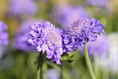 Scabious, Scabiosa caucasica 'Butterfly blue', Side view of mauve coloured flowers growing outdoor.
